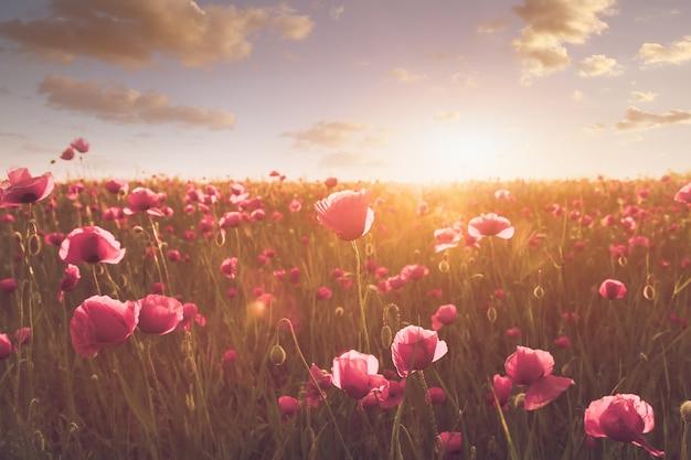 Landscape with nice sunset over poppy field