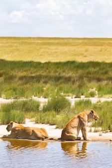 Пейзаж с прайдом львов. серенгети, танзания
