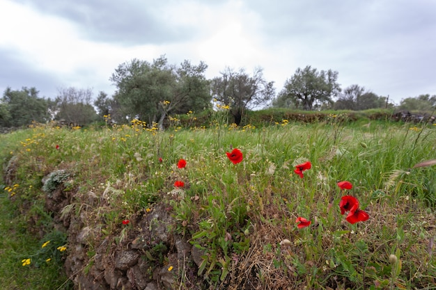 Landscape with red flowers poppies against the sky