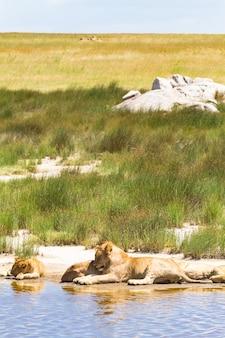 Пейзаж с отдыхающими львами. серенгети, танзания