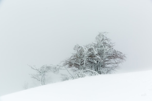 Landscape with a snow-covered and icy tree in winter on a mountain slope in foggy weather.