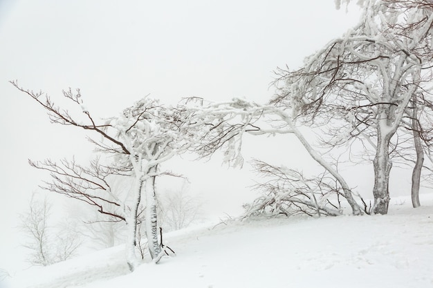 Landscape with a snow-covered and icy trees in winter on a mountain slope in foggy weather.