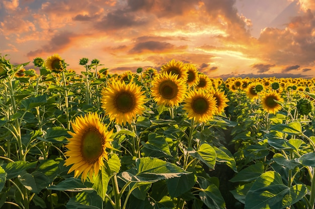 Landscape with sunflowers field on sunset