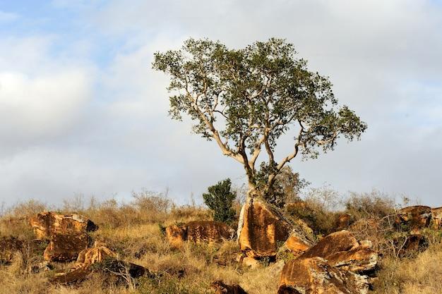 アフリカの木のある風景