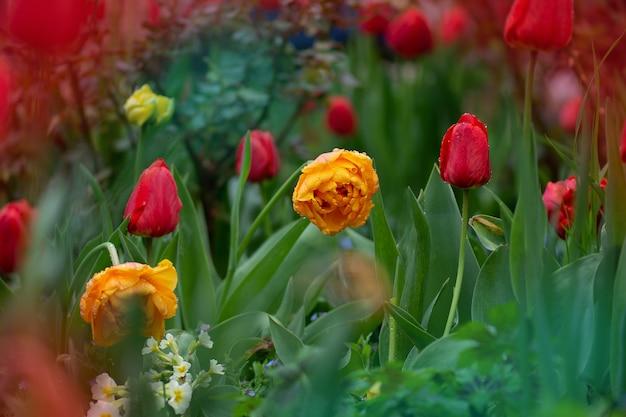 チューリップ畑のある風景。色とりどりのチューリップ畑。春のチューリップ畑。