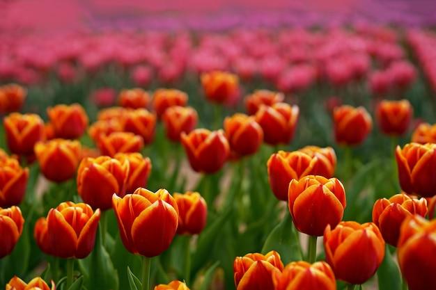 Пейзаж с полем тюльпанов. поле тюльпанов весной. цветочный тюльпан смешанного цвета. микс тюльпанов в саду
