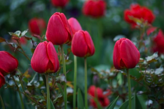チューリップ畑のある風景。春のチューリップ畑。赤い色のチューリップの花。庭の紫色のチューリップの花
