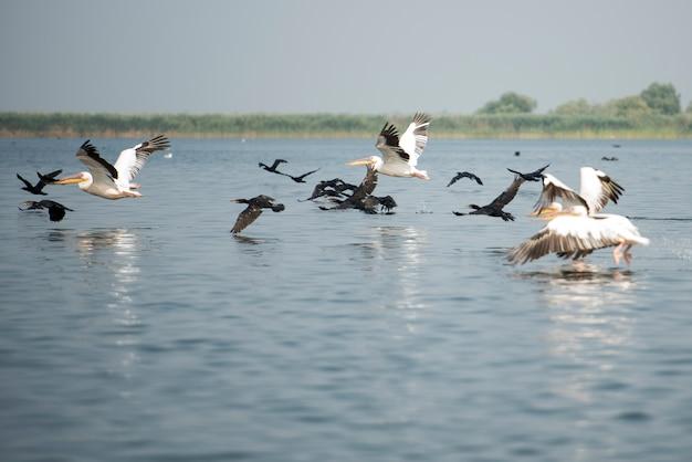 Landscape with white pelicans in danube delta, romania, in a summer sunny day
