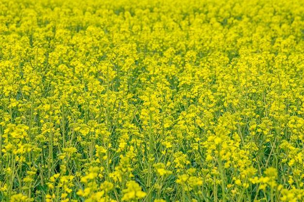 노란 유채 밭이 있는 풍경. 밝은 노란색 유채 기름. 바이오 연료.