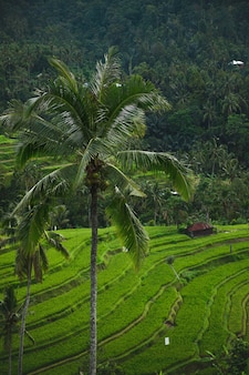 Landscapes of the bali island. beautiful view of rice terraces with a palm trees.