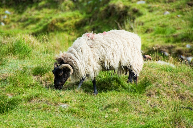 Landscapes of ireland. sheep grazing, connemara in galway county