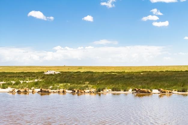 Пейзажи саванны. львы серенгети, африка