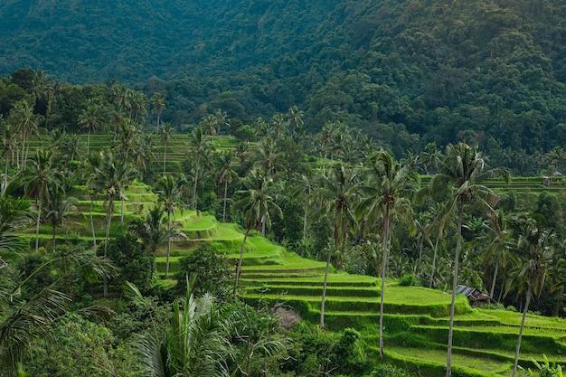 발리 섬의 풍경. 야자수와 라이스 테라스의 아름다운 전망.