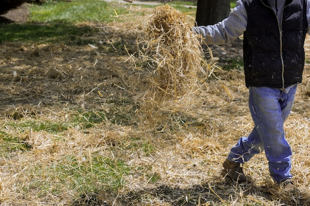 Работы по благоустройству газона озеленитель разбрасывает солому в жилом объекте