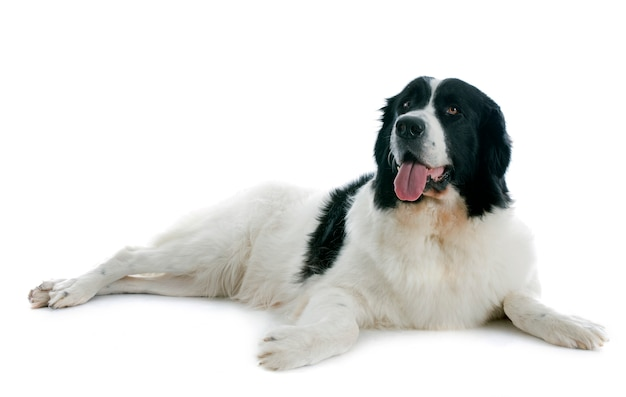 Landseer dog