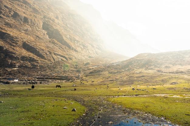 山、langtang渓谷の干し草フィールドを食べるヤク