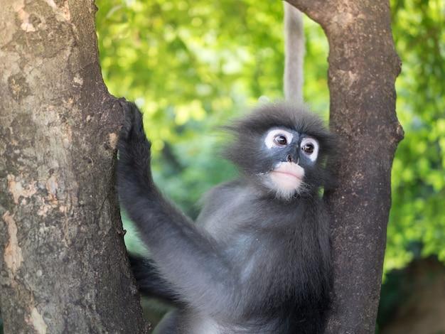 Langurs, colobinae, leaf monkey, trachypithecus. hanging on the tree.