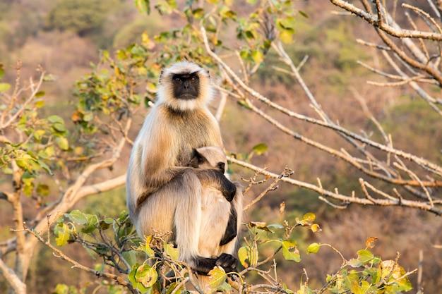 Langurs (presbytis entellus) in india.