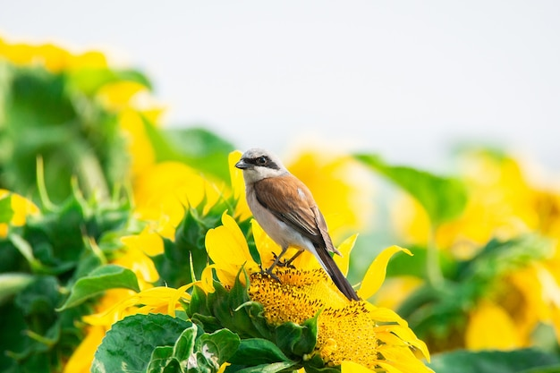 Lanius collurio on sunflower
