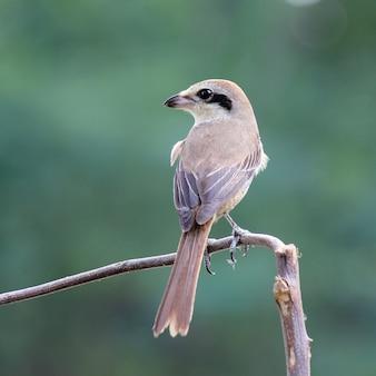 美しい鳥(ブラウンモズ、lanius cristatus)