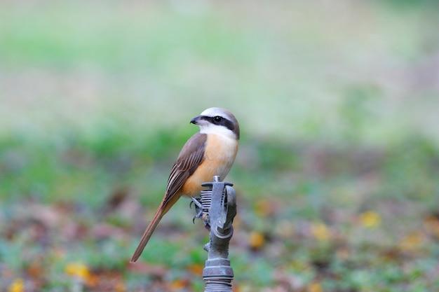 茶色のモズlanius cristatusタイの美しい鳥