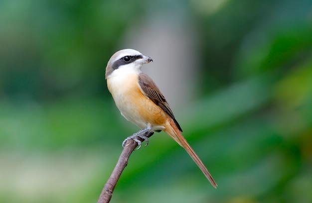 ブラウンモズlanius cristatus木にとまるタイの美しい鳥