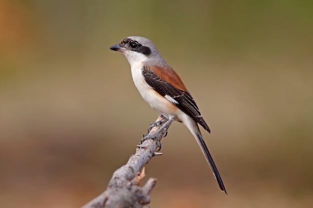ベイバックアップモズlanius vittatusタイの美しい鳥