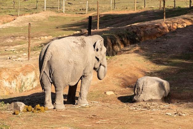 Lankesian 코끼리 (elephas maximus maximus).