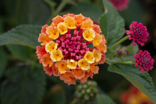 Цветок лантана камара