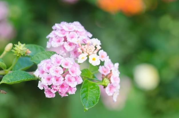 Цветы лантаны камара