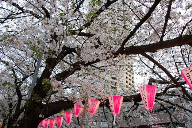 Lantern at sakura festival