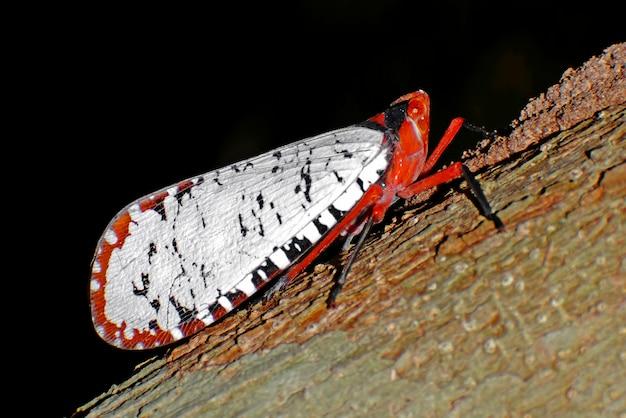 Lanternflies lantern bugs fulgoridae pyrops candelaria aphaena