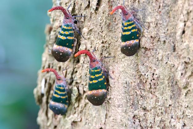 Lanternflies lantern bugs fulgoridae pyrops candelaria on the tree