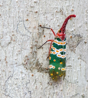 Lanternfly, the insect on tree fruits. fulgorid planthoppers.