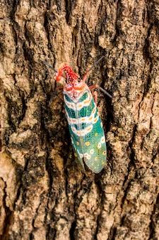 Lanternfly (lantern bugs) on tree
