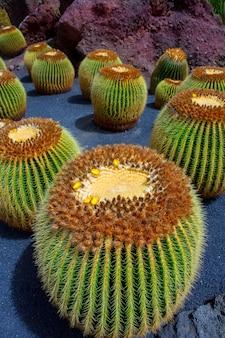 Lanzarote guatiza cactus garden echinocactus macrocentra