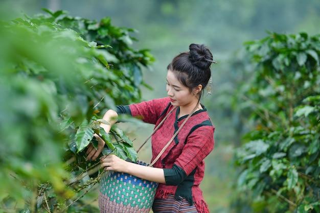 Неопознанная женщина-фермер из лаоса собирает кофейные ягоды на кофейной ферме