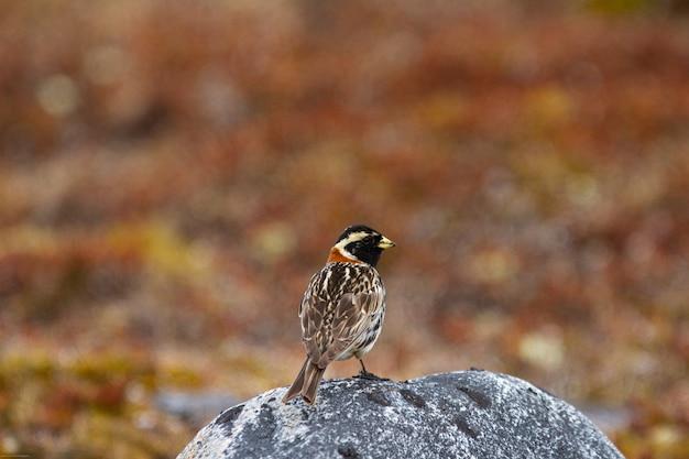 岩の上に立っているツメナガホオジロ鳥