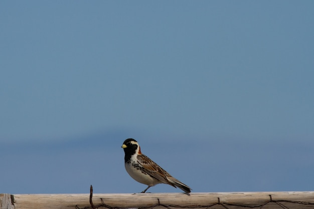Lapland longspur sitting on a post over blue sky with copy space