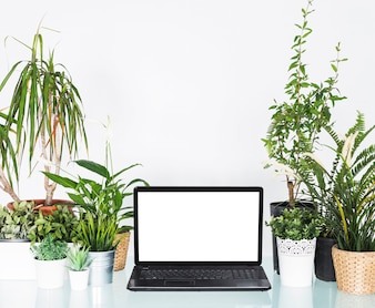Laptop with blank white screen between potted plants on desk
