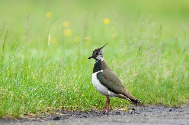 Lapwing on the grass
