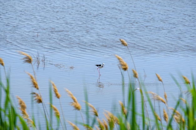 晴れた日に浅瀬で餌を探す高床式の脚をたたく