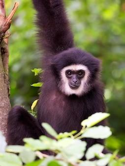 라 긴팔 원숭이 초상화