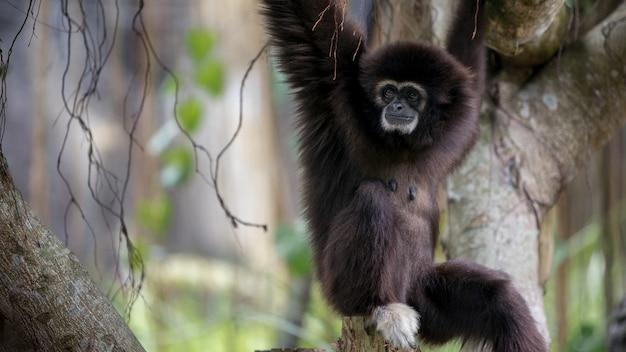 Lar gibbon은 숲의 나뭇 가지에서 쉬고 있습니다. 열대 우림 나무 사이로 매달려있는 야생 hylobates lar. 열대 우림의 자연 야생 동물. 더 어두운 털의 흰손 긴팔 원숭이.