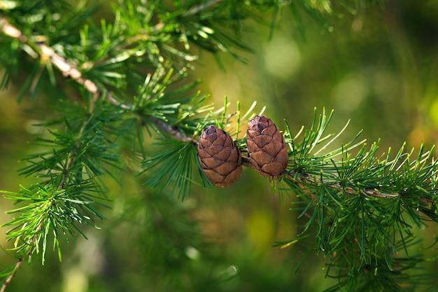 Шишки лиственницы на ветке
