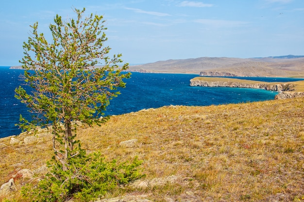 Larch and lake baikal in summer, island of olkhon.
