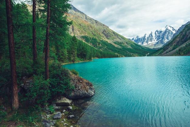 Larch on shore of azure mountain lake