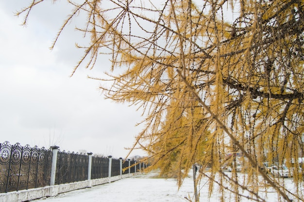 Larch with yellow needles grow along the fence in the park