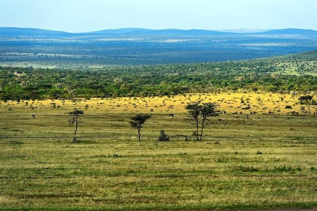 Большое дерево акации на открытых равнинах саванны восточной африки