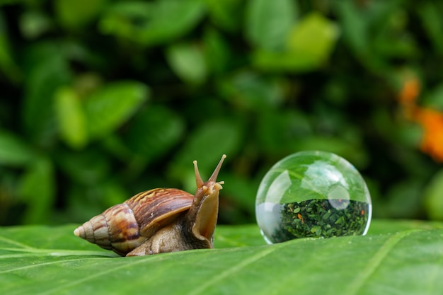 Large achatina snail crawling on a green leaf with water droplets next to a large soap bubble among a green garden located close up. cosmetology concept
